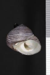 To ANSP Malacology Collection (syntypes of Monodonta crusoeana. Pilsbry, 1889. Manual of Conchology (Ser. 1) 11 (41-43): 98, pl. 35, figs. 19-21  - catalog no. 40541)