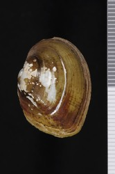 To ANSP Malacology Collection (syntype of Unio masoni. Conrad, 1834. New fresh water shells of the United States, with Coloured Illustrations, and a Monograph of the Genus Anculotus of Say; also a Synopsis of the American Naiades : 34-35  - catalog no. 41