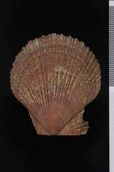 To ANSP Malacology Collection (syntypes? of Pecten pealii. Conrad, 1831. American marine conchology ; or descriptions and coloured figures of the shells of the Atlantic coast of North America : 11-12 - catalog no. 56149)