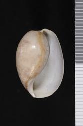 To ANSP Malacology Collection (syntypes of Bulla roperiana. Pilsbry, 1894. Manual of Conchology (Ser. 1) 15 (58-59): 336 - catalog no. 65373)