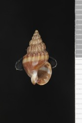 To ANSP Malacology Collection (syntypes of Nassa hypolia. Pilsbry, 1895. Catalogue of the Marine Mollusks of Japan : 37, pl. 2, figs. 13, 14  - catalog no. 70705)