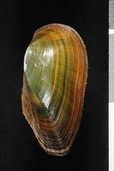 To ANSP Malacology Collection (syntypes of Unio pinei. Wright, 1897. Nautilus 11: 40-41  - catalog no. 73861)