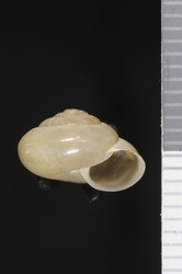 To ANSP Malacology Collection (syntypes of Trishoplita hiugensis. Pilsbry, 1901. Nautilus 15 (2): 20, not figured  - catalog no. 80845)