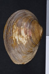 To ANSP Malacology Collection (syntype of Unio perovatus. Conrad, 1834. New fresh water shells of the United States, with Coloured Illustrations, and a Monograph of the Genus Anculotus of Say; also a Synopsis of the American Naiades : 47, pl. 2, fig. 3  -