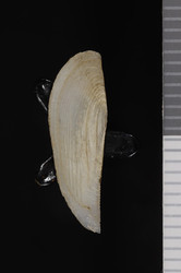 To ANSP Malacology Collection (holotype + paratype of Leda exoptata. Pilsbry & Lowe, 1932. Proceedings of the Academy of Natural Sciences of Philadelphia 84: 107-108, pl. 17, fig. 8  - catalog no. 155633)
