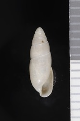 To ANSP Malacology Collection (holotype of Euglandina pygmaea. Pilsbry & Vanatta, 1936. Nautilus 49: 98, pl. 7, fig. 5 - catalog no. 162641)