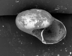To ANSP Malacology Collection (syntypes of Vitrinella bicaudata. Pilsbry & McGinty, 1946. Nautilus 60 (1): 15-16  - catalog no. 182042)