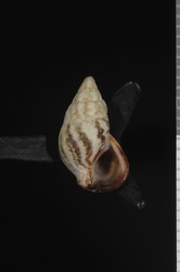 To ANSP Malacology Collection (holotype of Thericium biminiense. Pilsbry & McGinty, 1949. Nautilus 63 (1): 13-14, pl. 1, fig. 6 - catalog no. 185468)