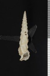 To ANSP Malacology Collection (holotype of Thericium chara. Pilsbry, 1949. Nautilus 63 (2): 65-66, pl. 1, fig. 11 - catalog no. 185477)